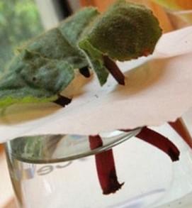 размножение фиалки в домашних условиях листом 1