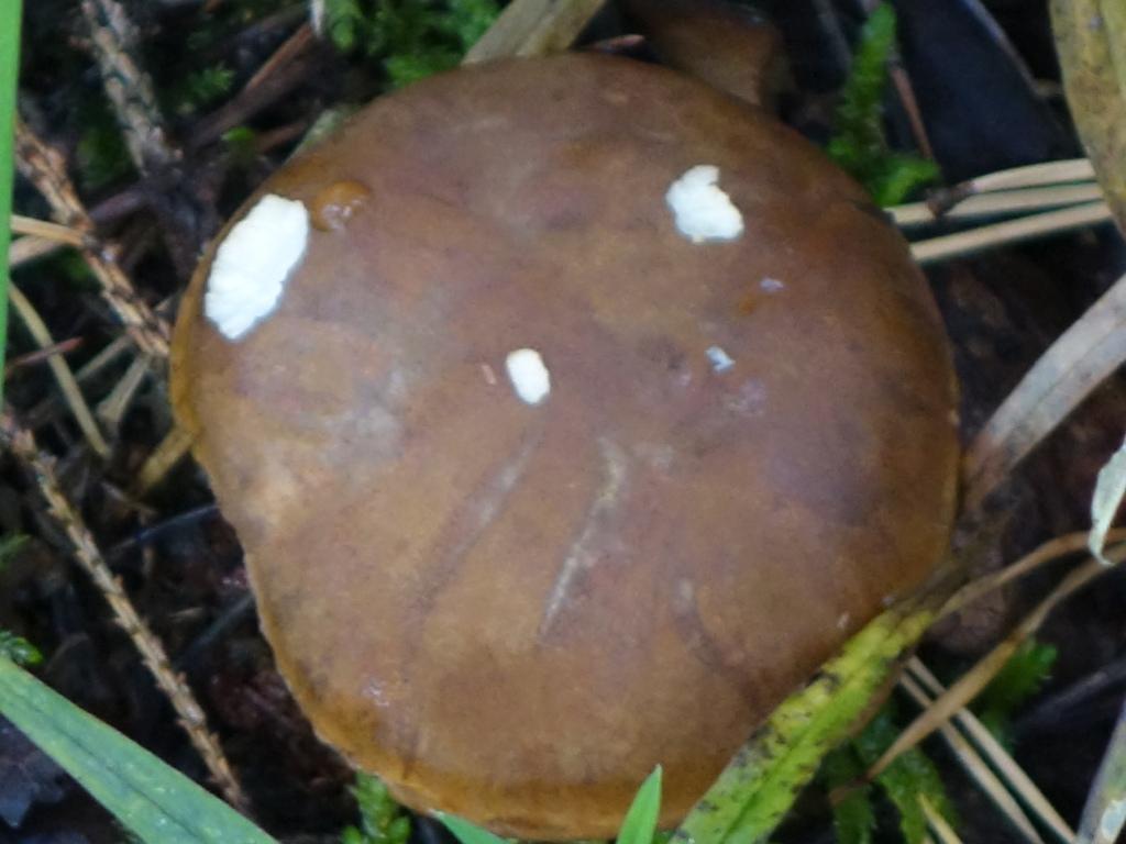 польский гриб - фото и описание 5
