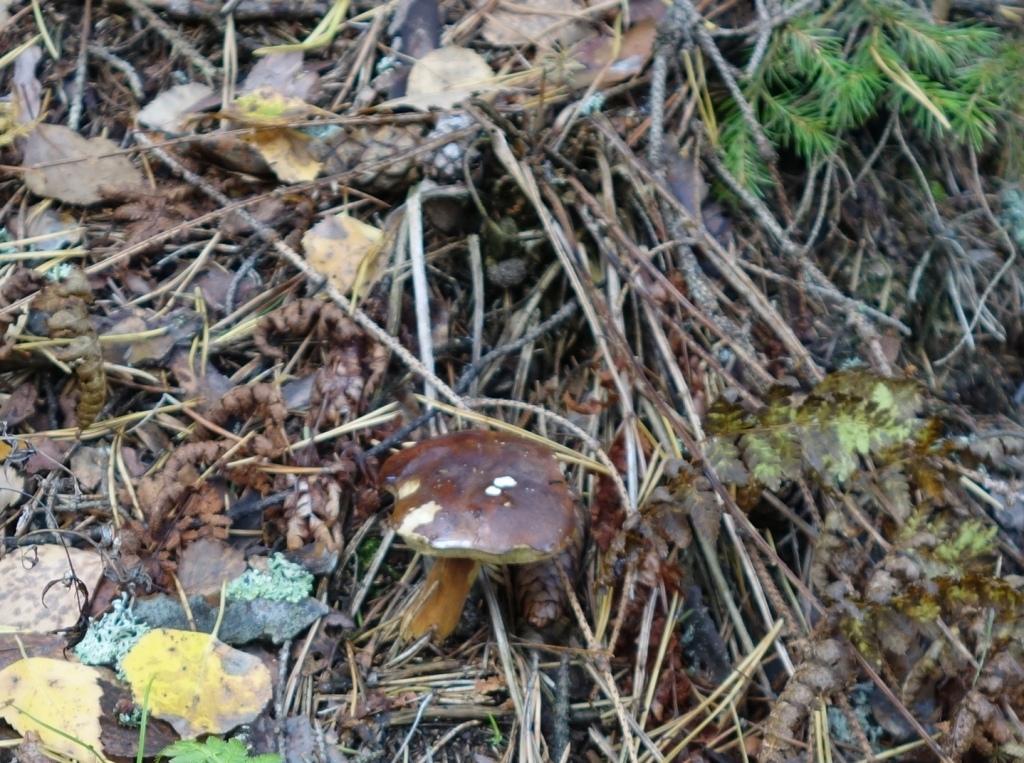 польский гриб - фото и описание 9