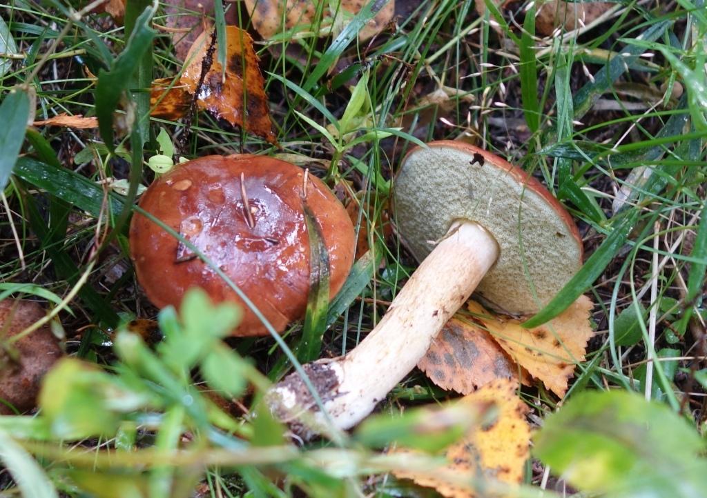 польский гриб - фото и описание 3