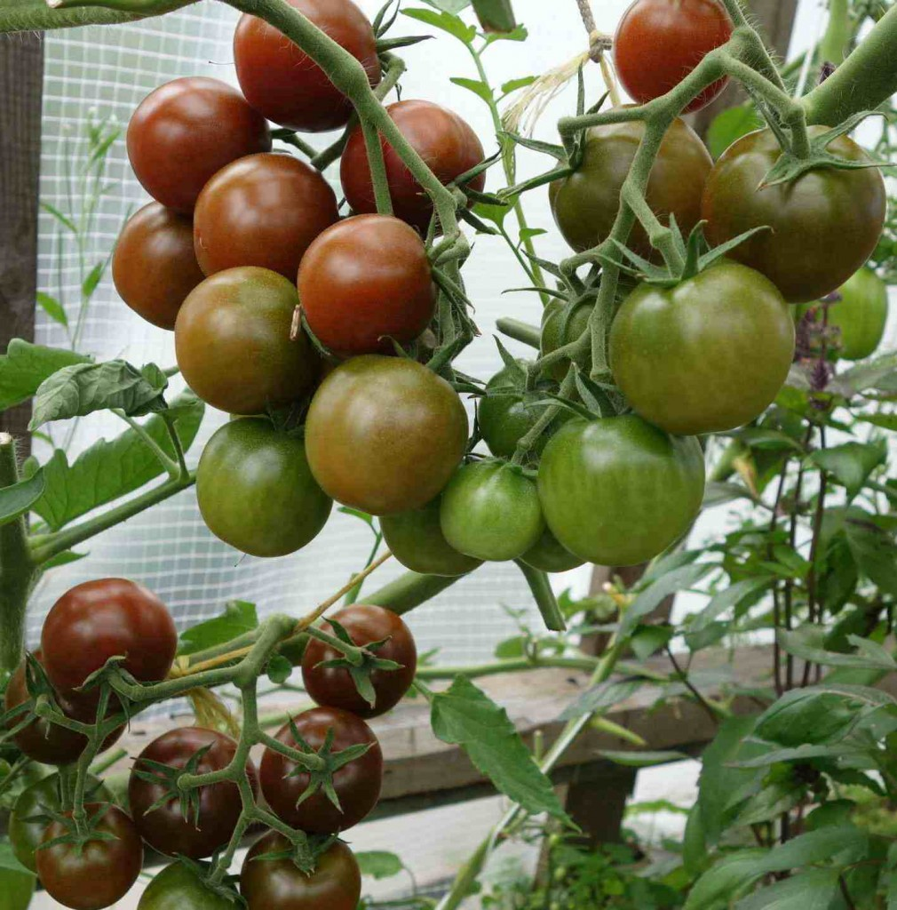Сорта помидоров с фото и описанием9