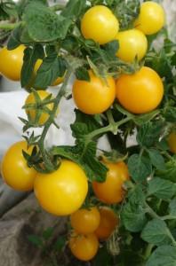 Сорта помидоров с фото и описанием3