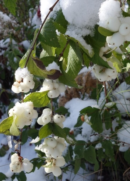 снежноягодник: посадка и уход в открытом грунте4