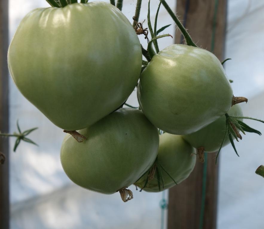 Сорта помидоров с фото и описанием10