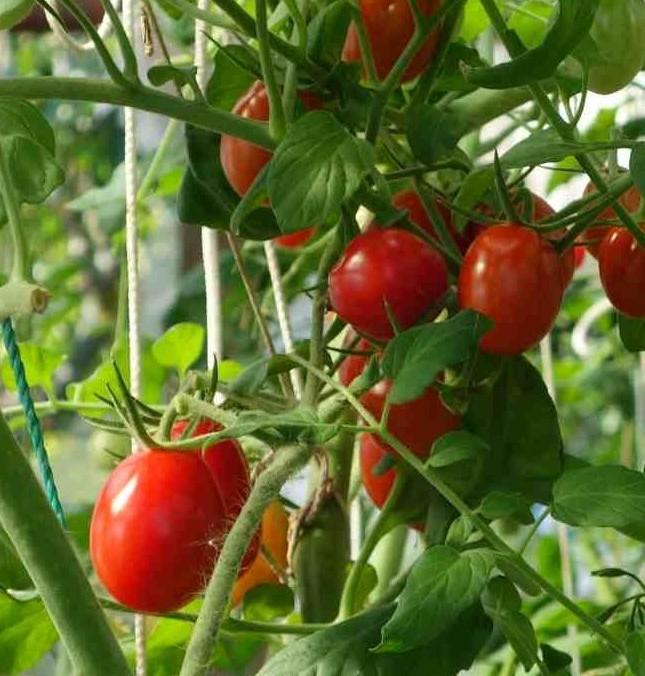 Сорта помидоров с фото и описанием11