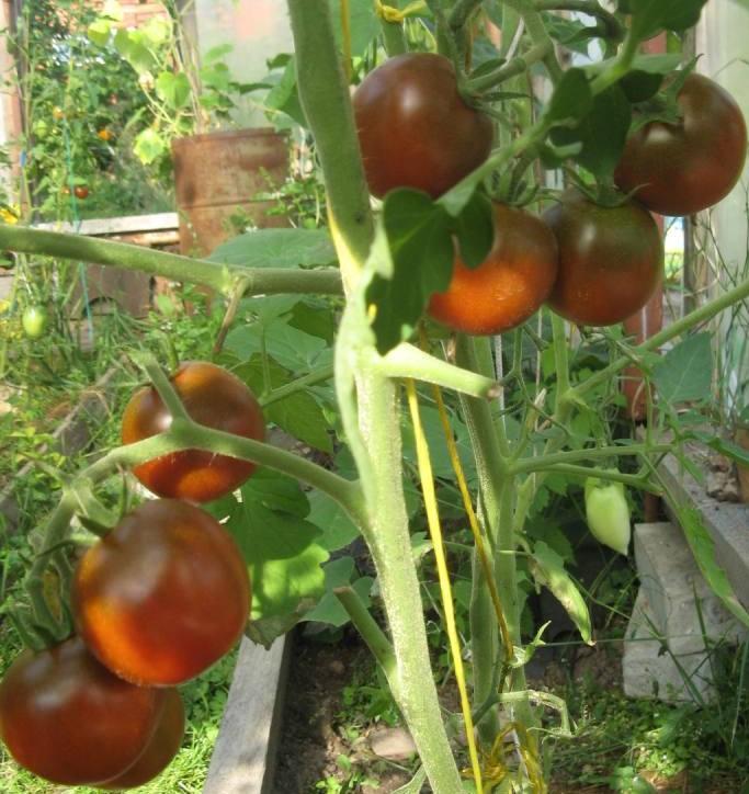 Сорта помидоров с фото и описанием8