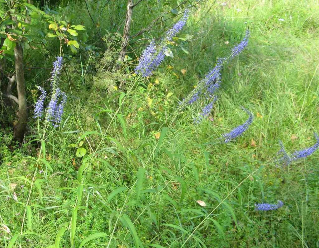 вероника (растение): фото, лекарственные свойства2
