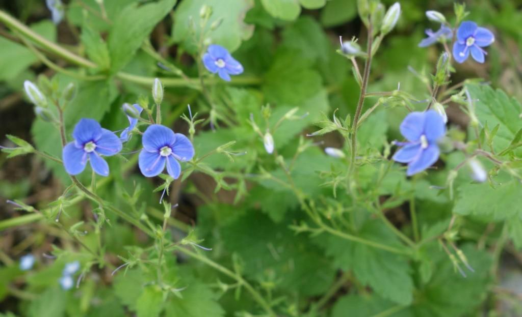 вероника (растение): фото, лекарственные свойства7