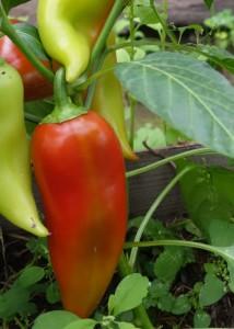 перец - выращивание рассады в домашних условиях
