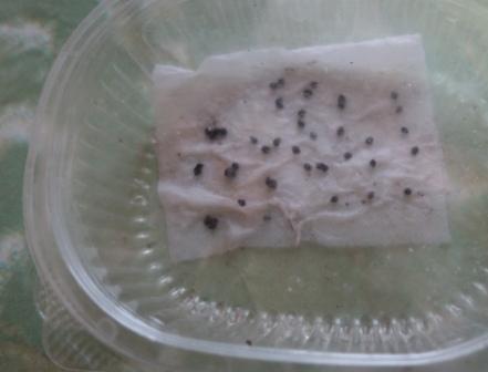 перец - выращивание рассады в домашних условиях1