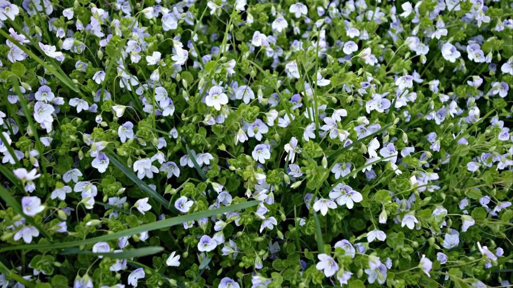 вероника (растение): фото, лекарственные свойства1