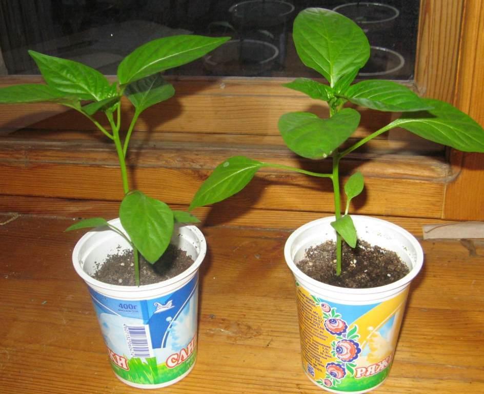 перец - выращивание рассады в домашних условиях4