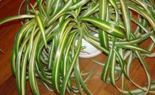 хлорофитум: уход в домашних условиях, фото 4