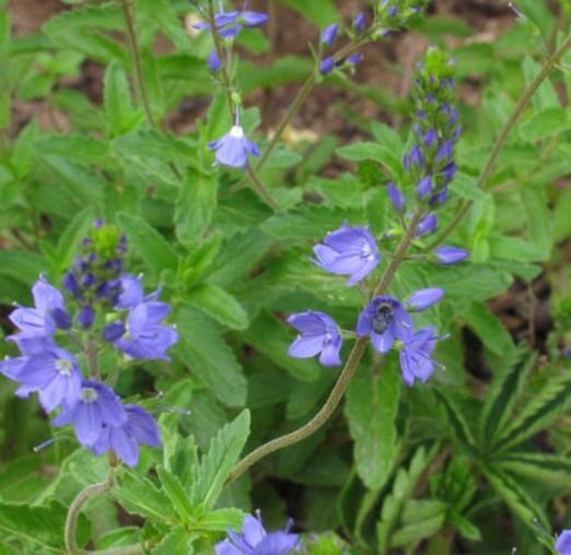 вероника (растение): фото, лекарственные свойства6