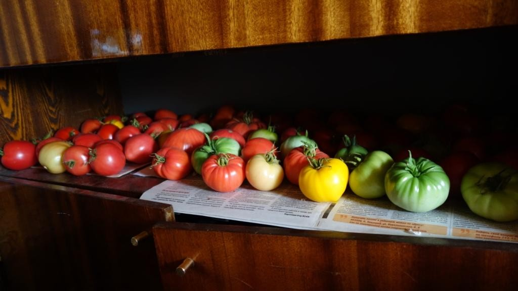Фитофтороз томатов: фото, описание и лечение 3