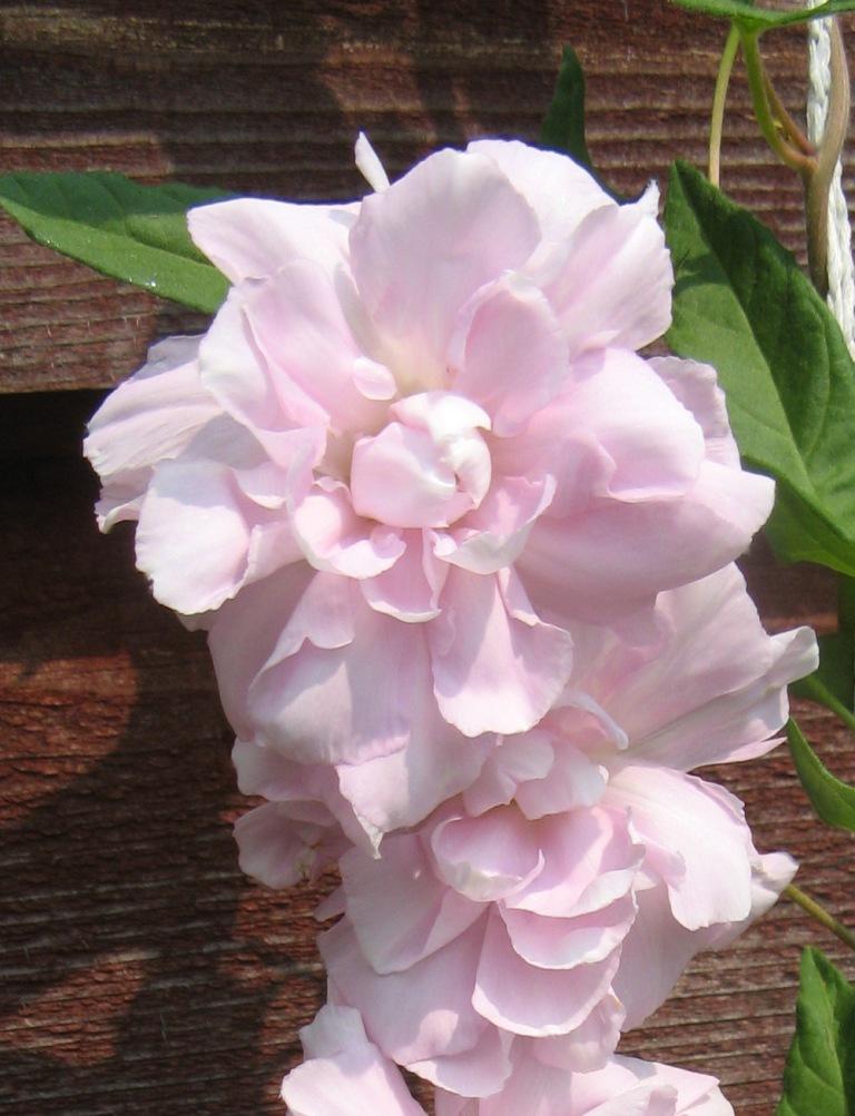 розовая калистегия, цветок