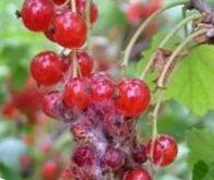 весенняя обработка смородины и крыжовника от вредителей 4
