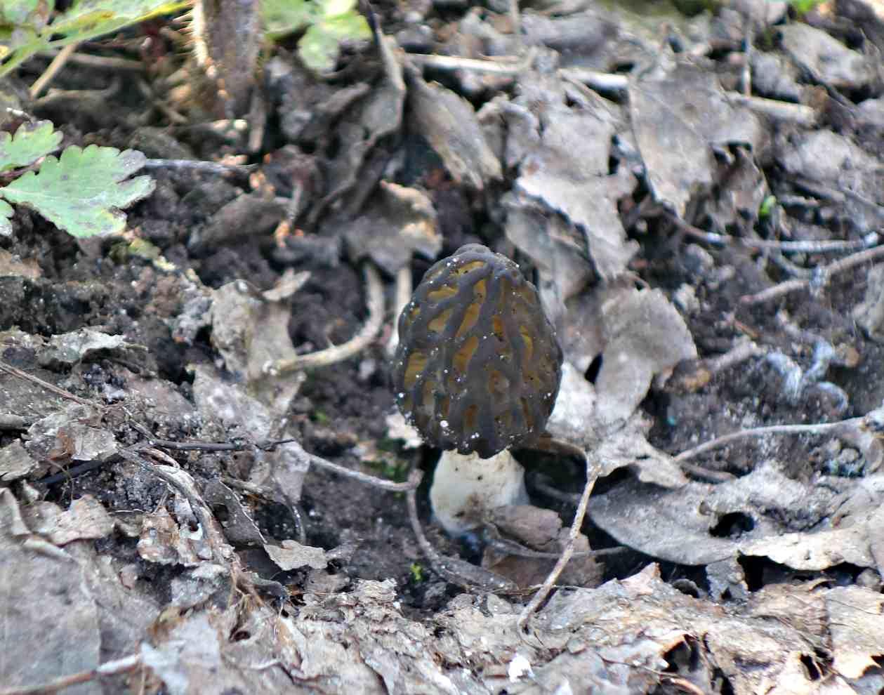 гриб сморчок: фото и описание 1