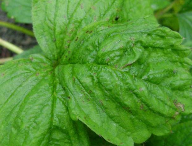 обработка клубники от болезней и вредителей весной 1
