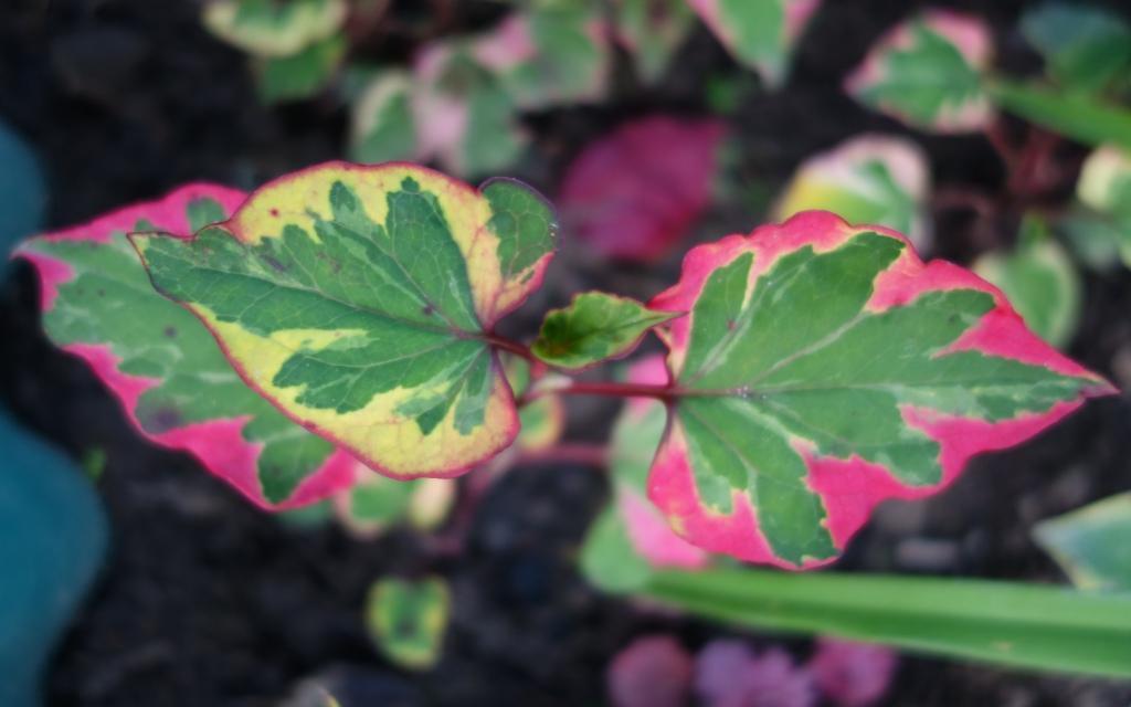 необычная расцветка листьев хауттюйнии