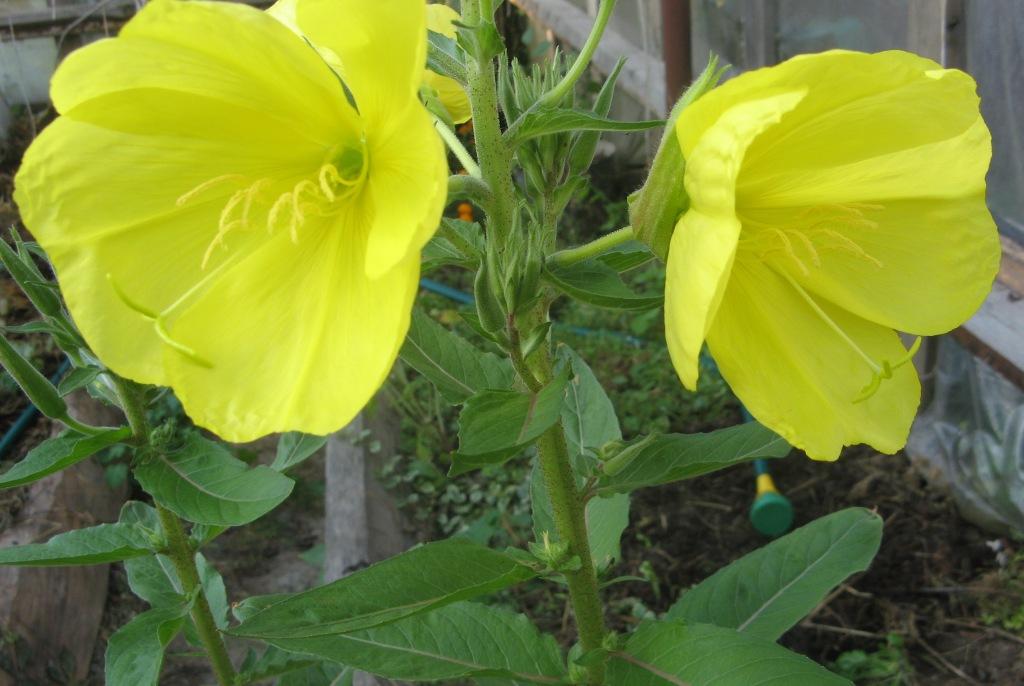 цветение энотеры днём