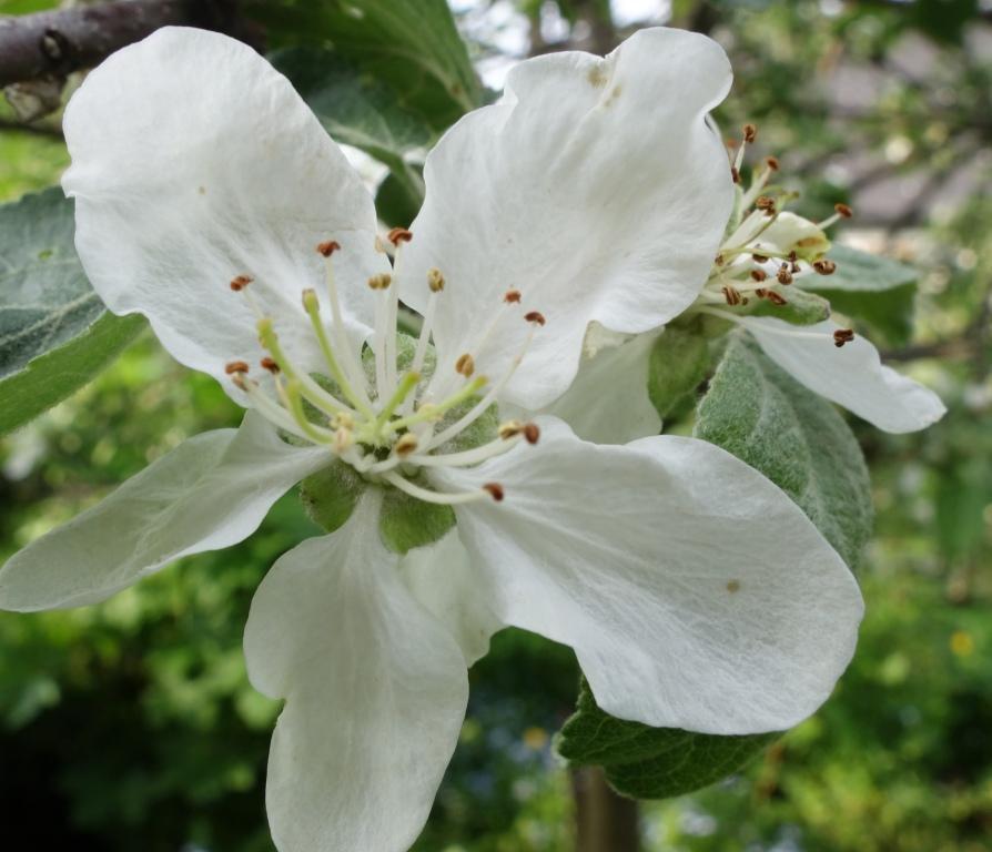 Почему яблоня не цветет - причины