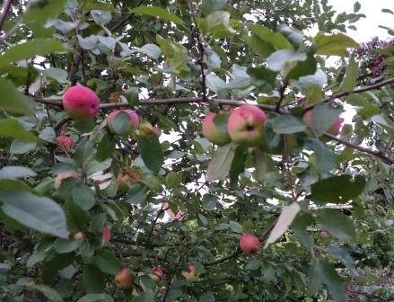 плоды на яблоне