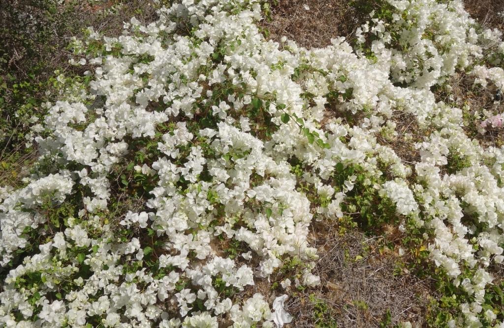 Бугенвиллия: выращивание и уход 3