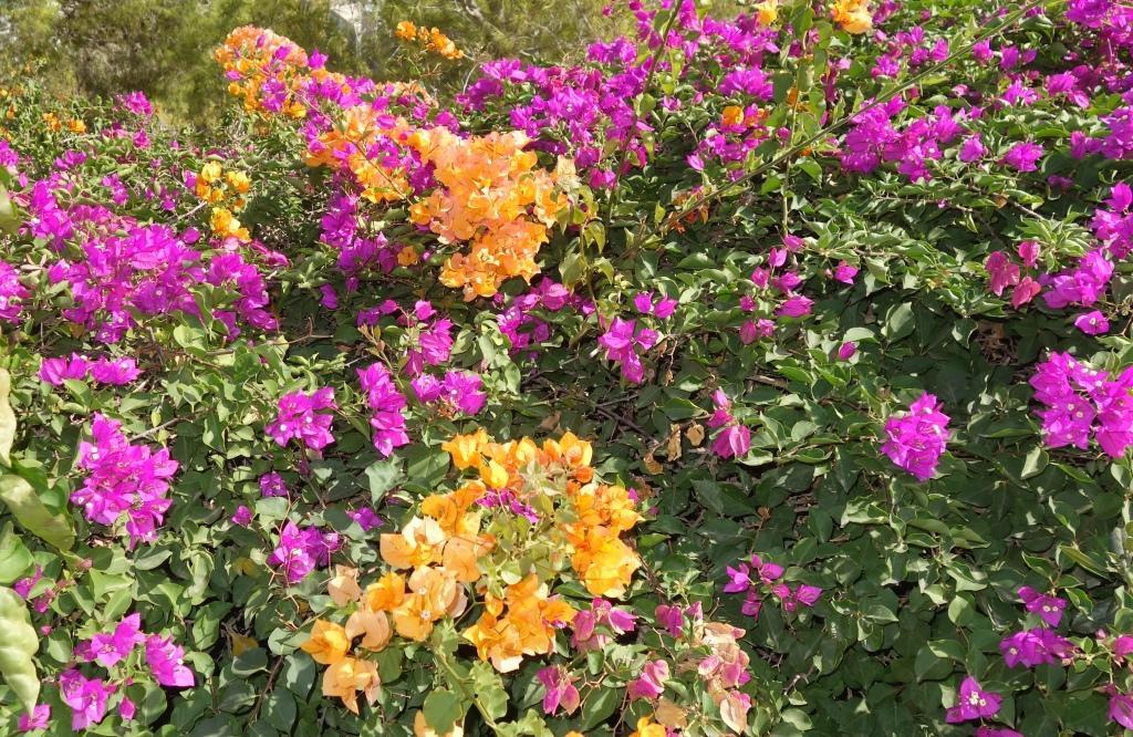 Бугенвиллия: выращивание и уход