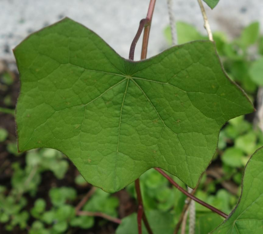 Лист луносемянника