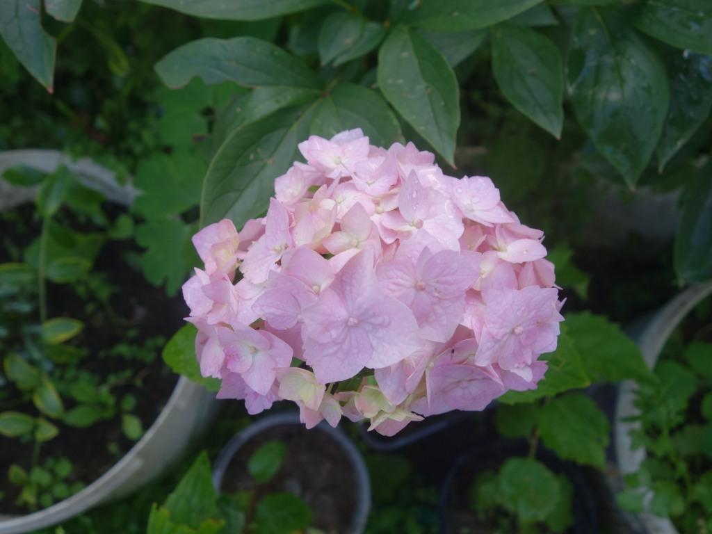 цветущий летом черенок гортензии