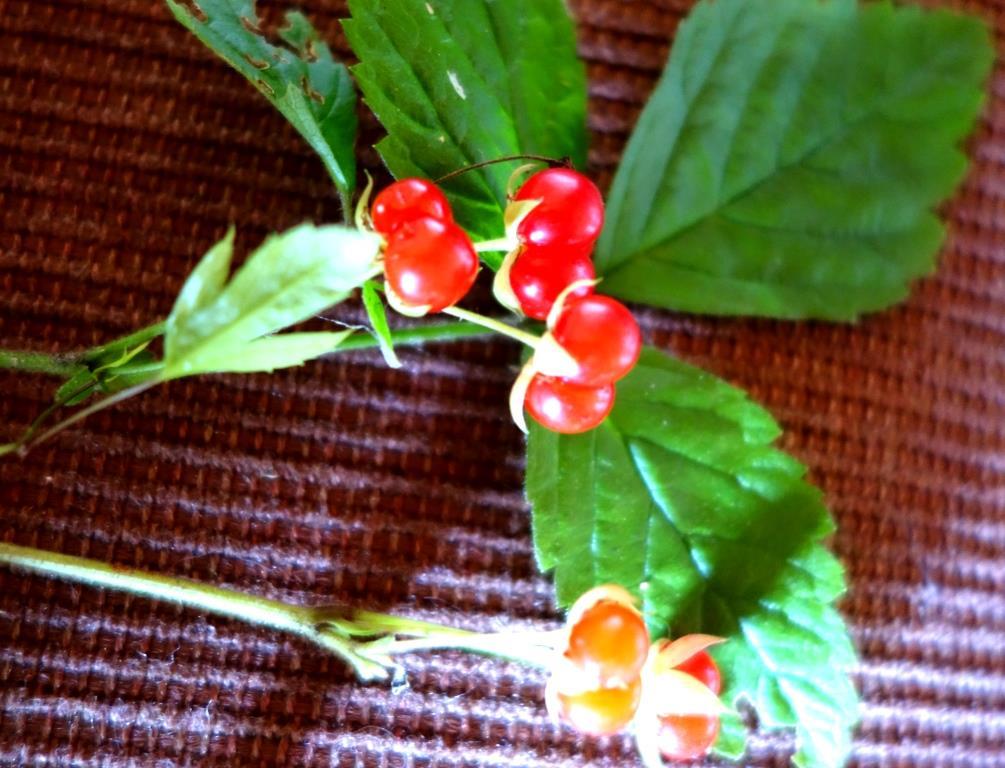 Фото ягоды костяники