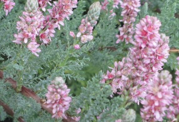 мирикария цветёт