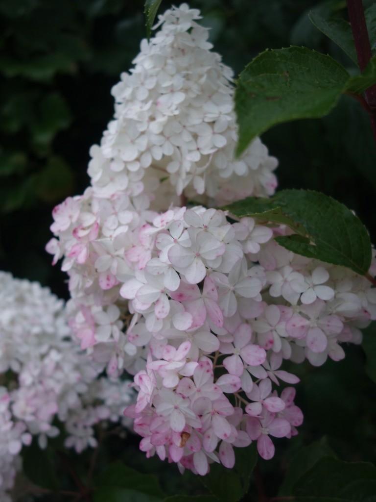 изменение окраски соцветия гортензии