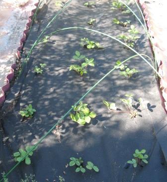 высадка земляники в грунт