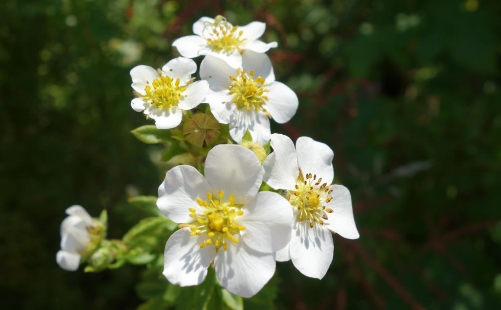 белоцветковый сорт лапчатки