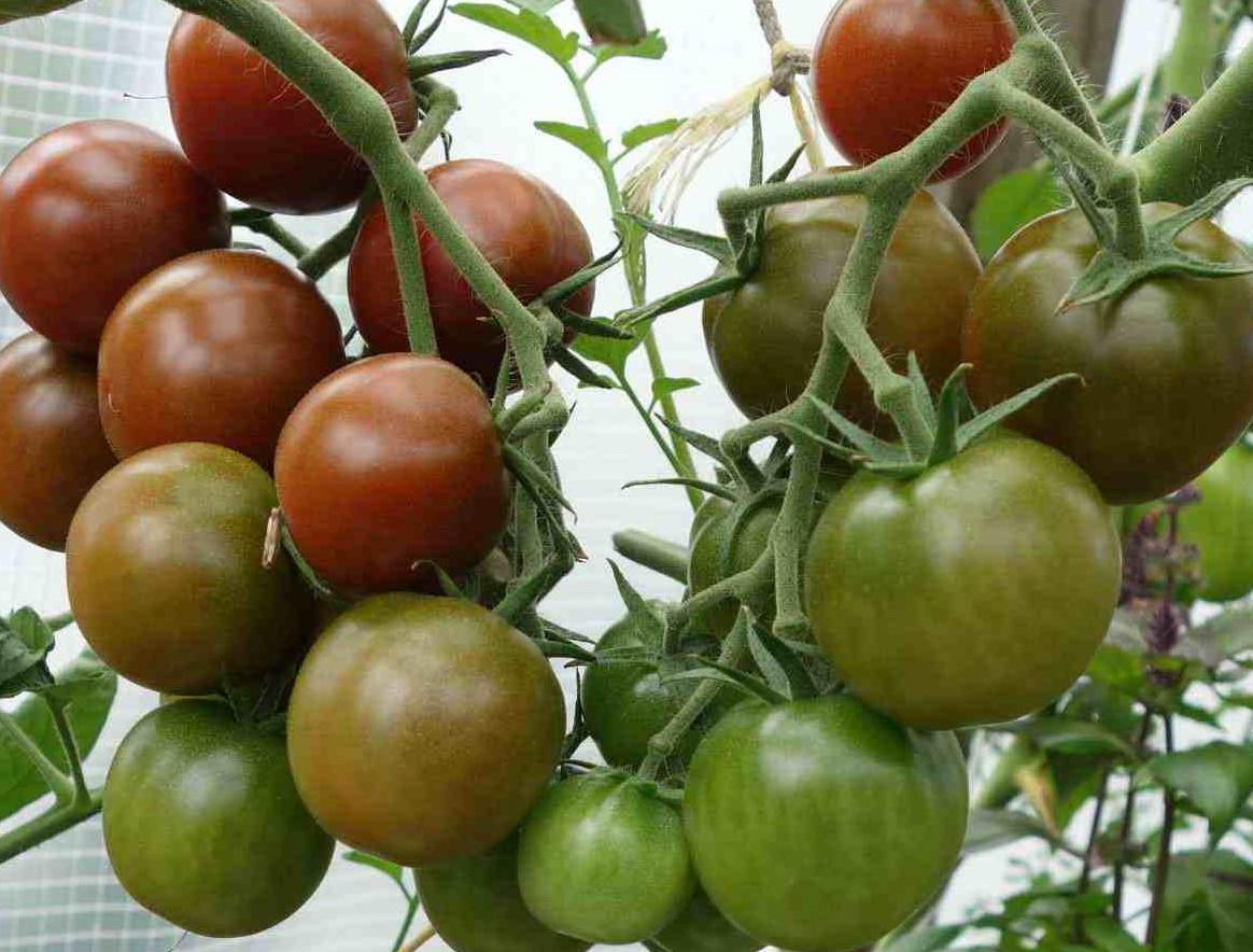 сладкие помидоры - заслуга костной муки