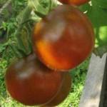 как получить семена из помидоров