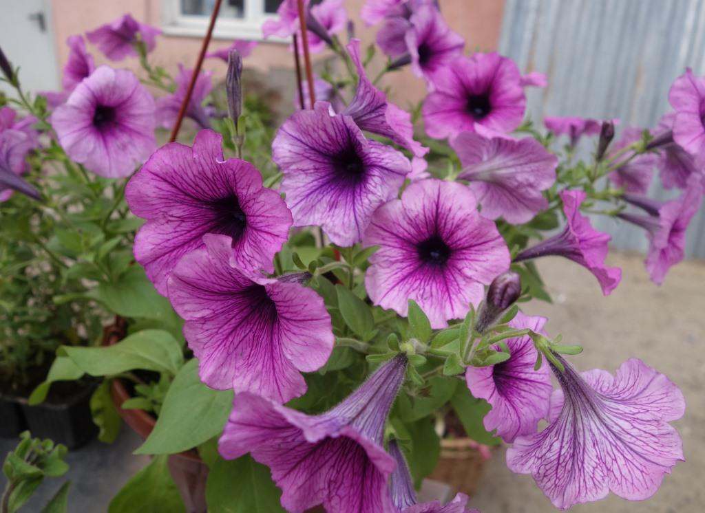 цветы петунии в кашпо